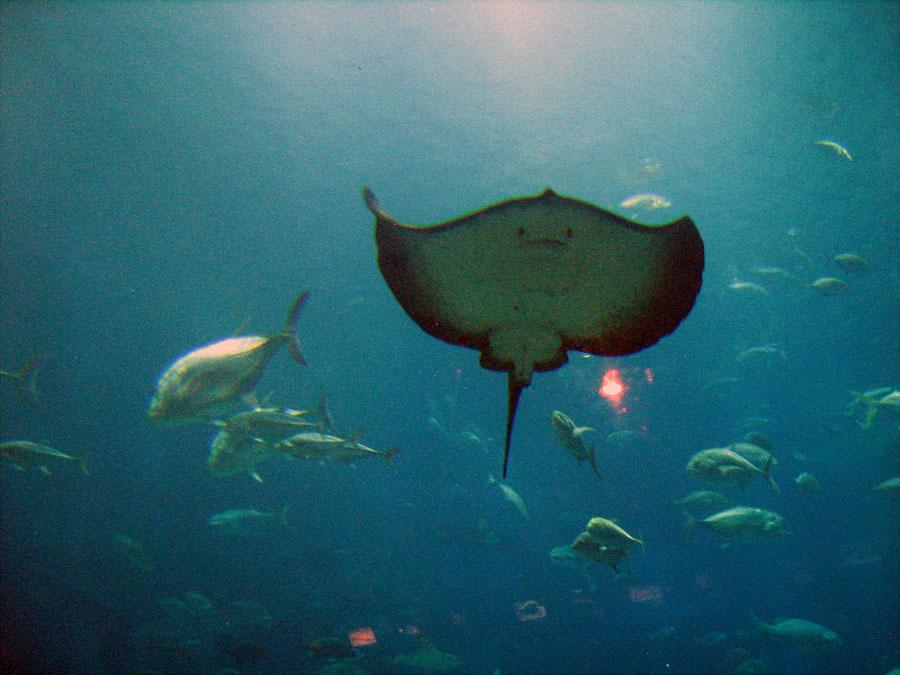pod oceánem, pohled na rejnoka - Ocenárium v Osaka port