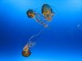 pod oceánem, tanec medůz - Ocenárium v Osaka port