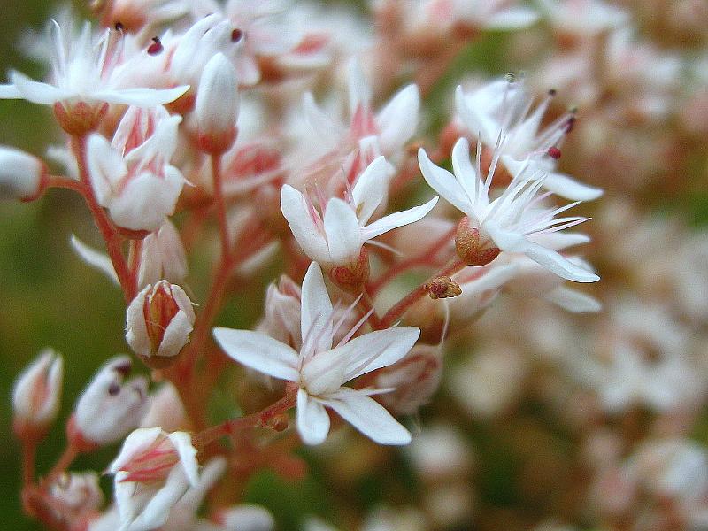 Květinové tanečnice